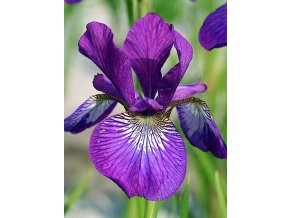 Iris Wine Wings 02