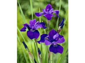 Iris Ceasars Brother 02