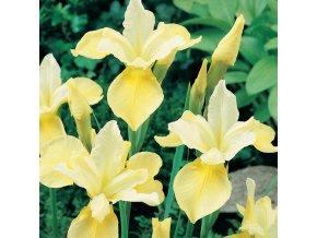 Iris Butter & Sugar 01