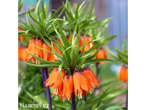 Repcik Fritillaria aurora imperialis 1