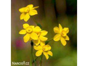 Narcis Baby moon 2