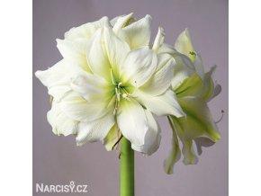 bílý plnokvětý hvězdník amaryllis marylin 1