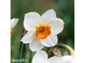 bílooranžový narcis barret browning 1