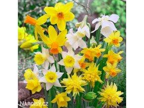 narcisy směs nízkých botanických narcisů 5