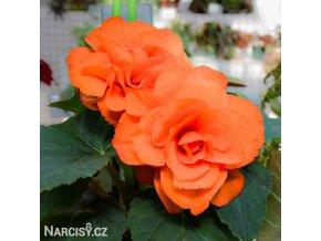 Begonie Plnokvětá oranžová 02