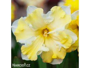 žlutobílý narcis split cassata 5