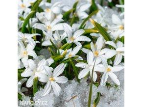 ladonička bílá chionodoxa white 1