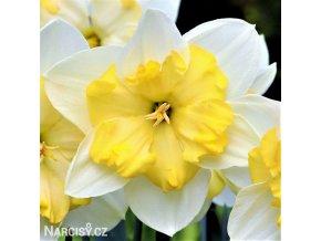 bíložlutý narcis split bella estrella 7