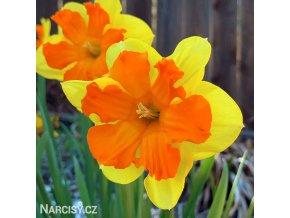 žlutooranžový narcis split congress 2