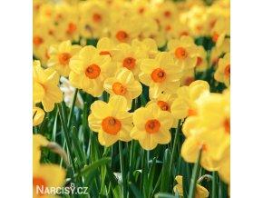 žlutooranžový narcis kedron 1