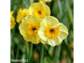 žlutý vícekvětý narcis sundisc 1