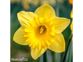 žlutý narcis dutch master 1