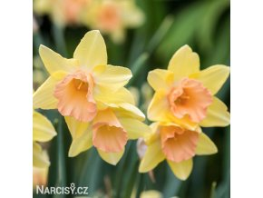žlutorůžový narcis blushing lady 1