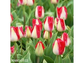 bilocerveny tulipan alectric 8