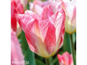 ruzovy tulipan triumph flaming purissima 1