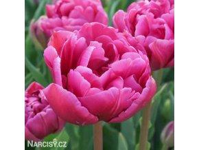 ruzovy plnokvety tulipan margarita 1
