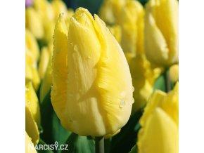 žlutý tulipán sunny prince 5
