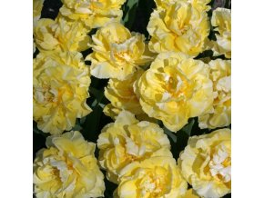 Tulipany Verona 3