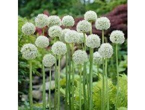 Allium Ping Pong 2