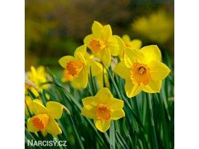 žlutooranžový narcis fortune 1