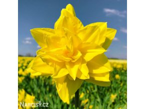 žlutý plnokvětý narcis golden ducat 4
