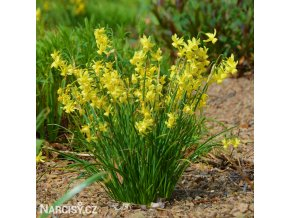 žlutý narcis hawera 4