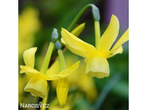 Narcis Hawera 6