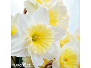 Narcis Ice follies 10