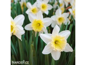 Narcis Ice follies 11