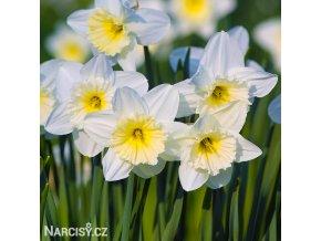 bílý narcis ice follies 1