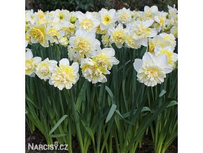 Narcis Ice king 6