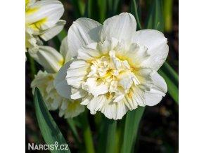bílý plnokvětý narcis ice king 1