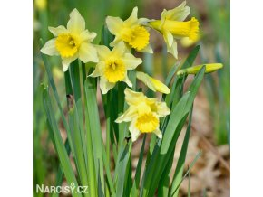 Narcis Lobularis 1