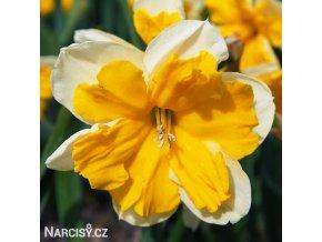 oranžovobílý narcis split orangery 1