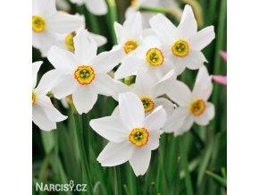 bílý narcis poeticus pheasant eye recurvus 5