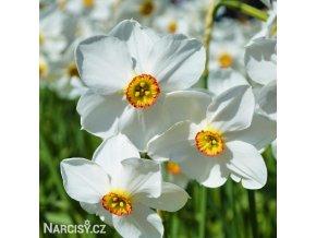 Narcis Pheasant eye recurvus 1