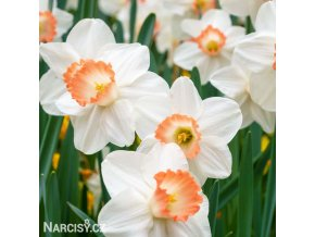 Narcis Pink charm 6