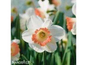 bílorůžový narcis pink charm 1