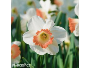 Narcis Pink charm 1