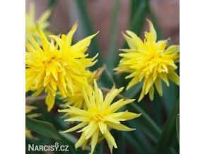 Narcis Rip van winkle 2