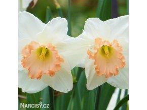 bílorůžový narcis salome 4