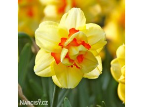 žlutý plnokvětý narcis tahiti 6
