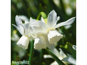 Narcis Thalia 4