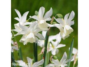 bílý narcis thalia 1