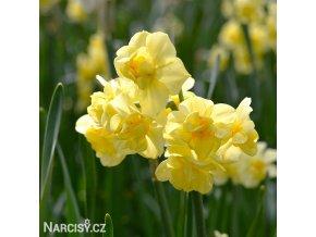 Narcis Yellow cheerfulness 3