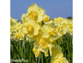 žlutý plnokvětý narcis yellow cheerfulness 1