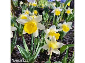 Narcis Topolino 4