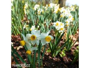 Narcis Canaliculatus 2