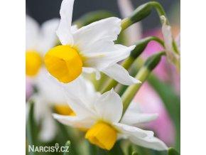 Narcis Canaliculatus 5