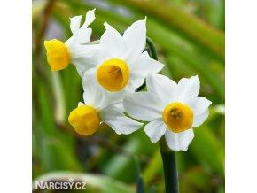 bílý vícekvětý narcis canaliculatus 1
